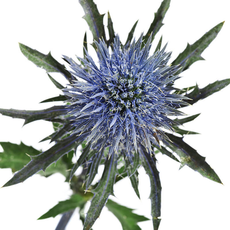 SeaHolly_1