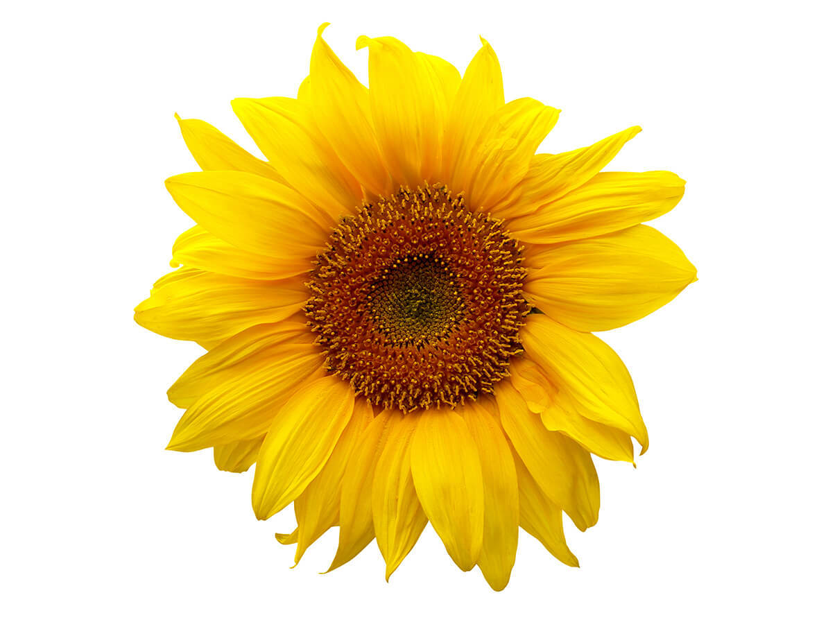 Sunflower_S_1